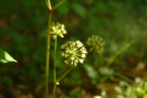 Aralia nudicaulis flowers