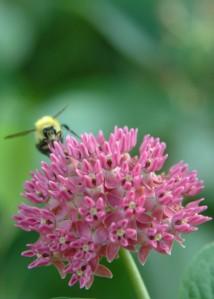 bumblebee milkweed