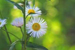 daisy fleabane close-up