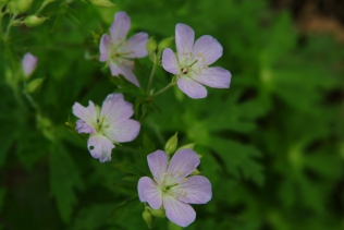 Wild Geranium (Geranium maculatum) 5/20/06
