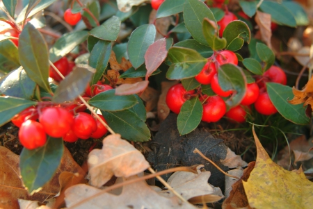 Wintergreen (Gaultheria procumbens) 11/25/05