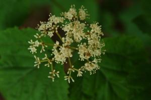Maple-leaf viburnum (Viburnum acerifolium) 6/11/06