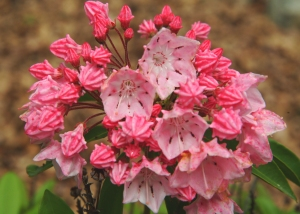 Mountain laurel cultivar #1 (Kalmia latifolia) 6/11/06