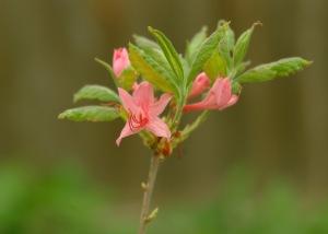 Roseshell Azalea #2 5-22-08