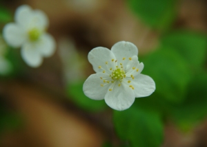 Rue anemone close up