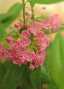 Sheep Laurel (Kalmia angustifolia) 5/31/07