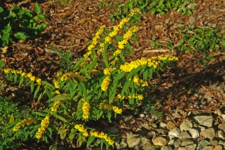 wreath goldenrod