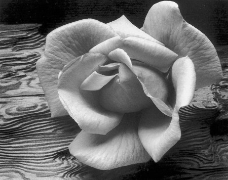 ansel adams rose_and_driftwood