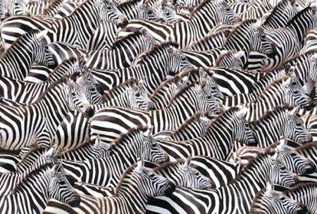 art wolfe zebras larger