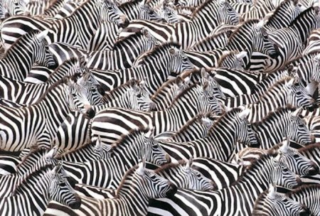 art wolfe zebras larger