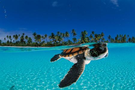 david-doubilet a-baby-green-sea-turtle-swimming