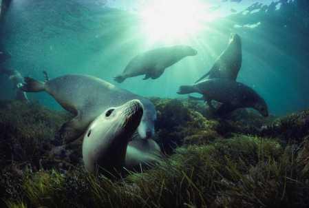 doubilet larger sea lions