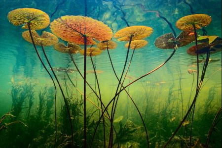 frans lanting water lilies larger