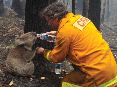 mark pardew koala