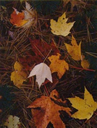 porter maple leaves