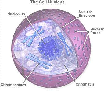 A diagram of the cell nucleus.