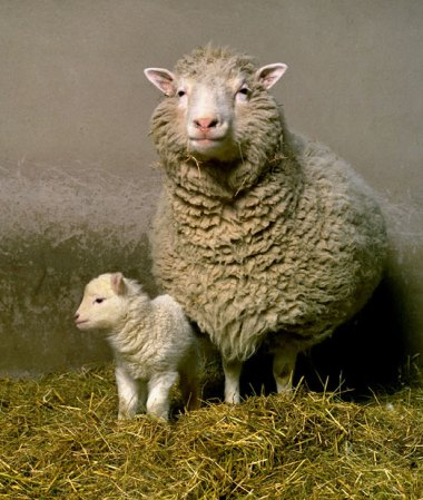 Dolly the cloned sheep and her first lamb Bonny, in 1998-1999.