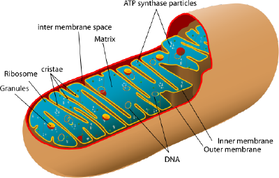 A diagram of a mitochondrion.