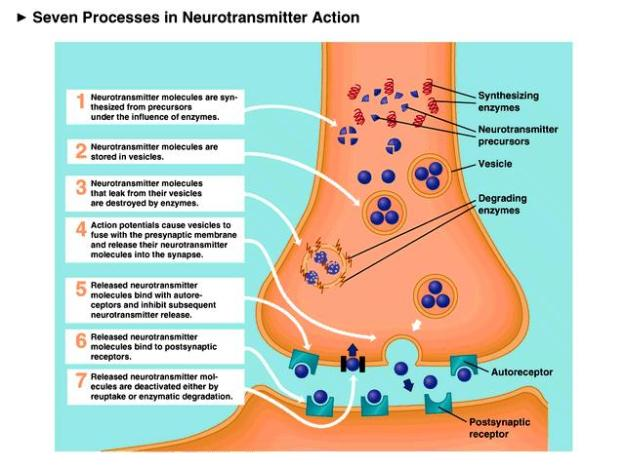 A diagram containing a description of seven different neurotransmitter processes.