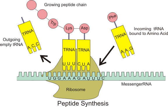 A diagram of protein synthesis using tRNA, mRNA and ribosomes.