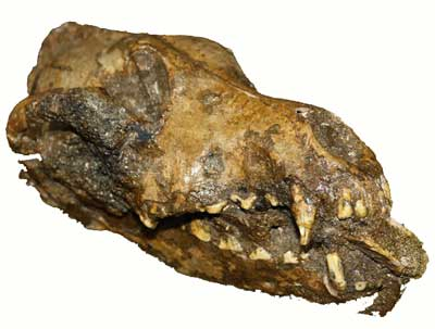Archaeologists discovered the remains of this dog buried with a mammoth bone in its mouth at a human settlement in the Czech Republic that dates to 22,000-25,000 BCE.