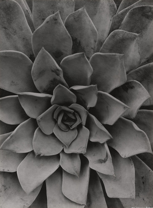 Echeveria is a photograph by Albert Renger-Patsch.