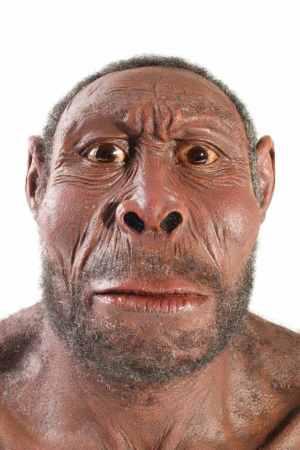 A reconstruction of Homo erectus.