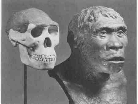 A reconstruction of Java Man with the fossil skull. Note that only the dark portion of the skull was found.
