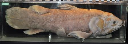 Coelacanth.