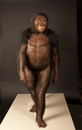 "A reconstruction of ""Lucy"", the first Australopithecus afarensis skeleton discovered, from the Cleveland Museum of Natural History."