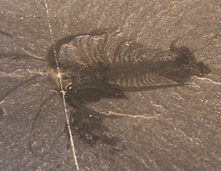 The shrimplike Marrella is the most common Burgess Shale fossil.