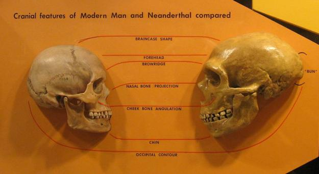 A display from the Cleveland Museum of Natural History comparing Homo sapiens and Homo neanderthalensis skulls.