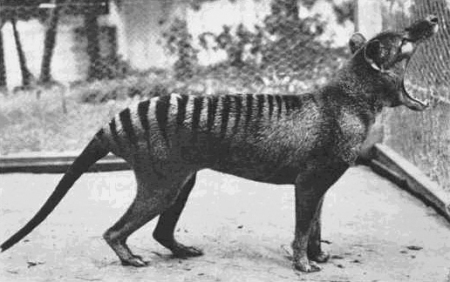 The last known thylacine (Tasmanian tiger) in a 1933 photo at the Beaumaris Zoo in Tasmania.